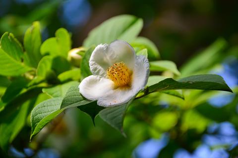 平成29年度 沙羅の花と一絃琴の鑑賞会